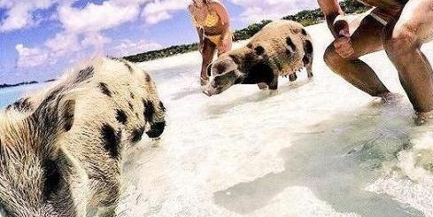 Harry Kane pigs