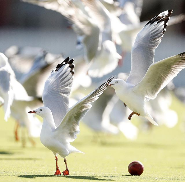 Seagulls Sheffield Shield