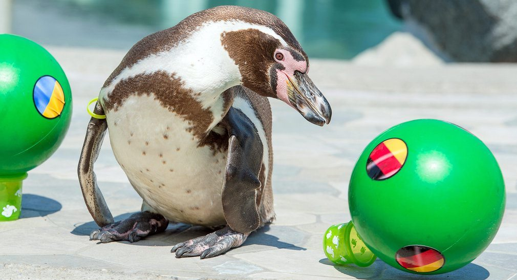 Flocke, a Humboldt penguin, predicts a German victory against Ukraine in the Uefa Euro 2016 championship